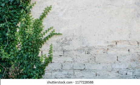 Damaged rustic wall half covered by Common Ivy. Also known as Hedera helix, English ivy or European ivy. With copy space
