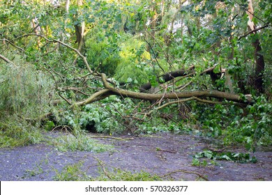 Damaged tree by hurricane wind after storm in park