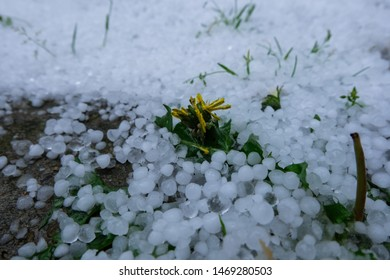 Damaged yellow flowers and hailstones.