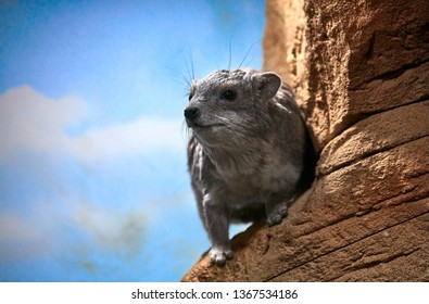 Daman Bruce, lat. Heterohyrax bruceii. closest relative of elephants