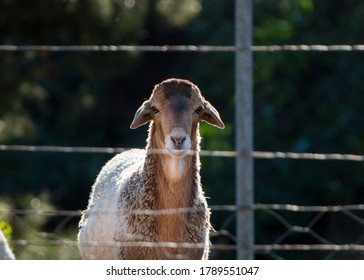 A Damara sheep standing behind the fence on the farm