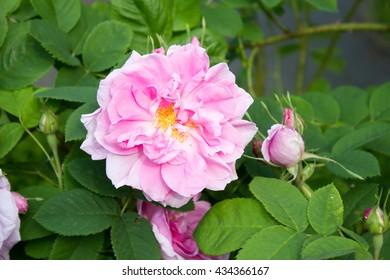 """Damask Rose"" flowers (or ""Rosa de Quatre Saison ) in rose in Goettingen, Germany. Its scientific name is Rosa x Damascena."