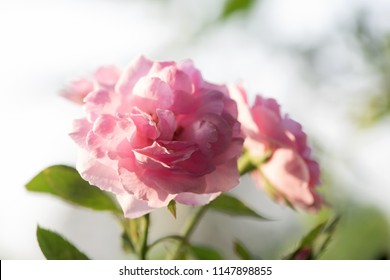 Damask rose, Pink damask rose, Summer damask rose, Rose,flowers have property medicine.