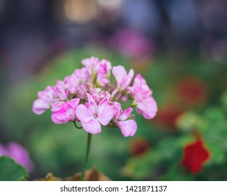 Dame's rocket (hesperis matronalis) pink flower, also known as damask-violet, dame's-violet, dames-wort, dame's gilliflower, rogue's gilliflower, summer lilac and other names.
