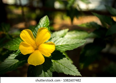 Damiana - A flower of beauty. This yellow flower is mostly found in Mexico region, however this shot was taken from Indian subcontinent.