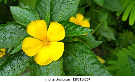 damiana flower close up