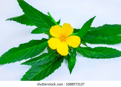 damiana flower with green leaves