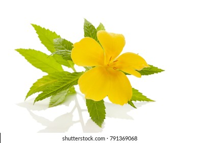 Damiana flower and leaves isolated on white background.