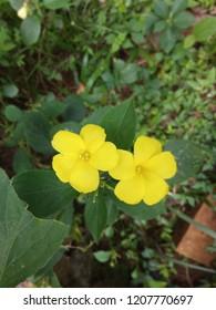 Damiana Flower Plant