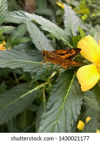 Damiana FLower or Damiana plant with butterfly, yellow flower