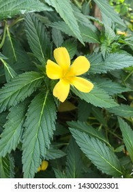 Damiana Flower or Damiana plant, yellow plant