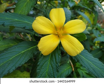 Damiana flower or damiana plant, yellow plant