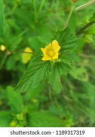 Damiana Flower Shot