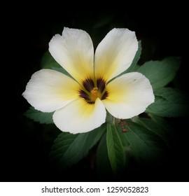 Damiana flower  white yellow brown green leaf closeup black background