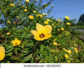 Damiana flowers (turnera diffusa) bloom in the morning