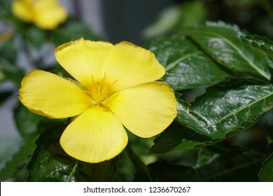 Damiana fresh bloom
