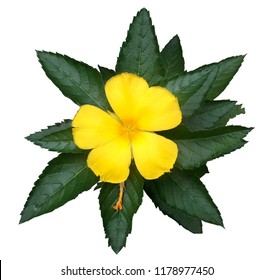 Damiana leaves are used as tonic.