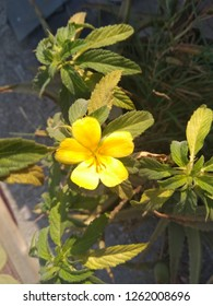 Damiana Plant with its flower