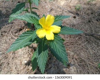 Damiana is a relatively small, woody shrub that produces small, aromatic flowers. It blossoms in early to late summer and is followed by fruits that taste similar to figs.