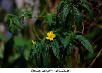 Damiana Turnera Diffusa Flower Blooming Plant