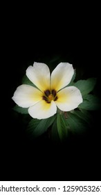 Damiana white yellow brown colors flower green leaf closeup black background
