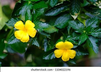 Damiana Yellow Flowering Herbs.