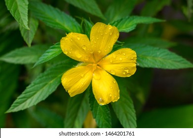 Damiana,Turnera diffusa is a plant with yellow flowers,used as herbal medicine.