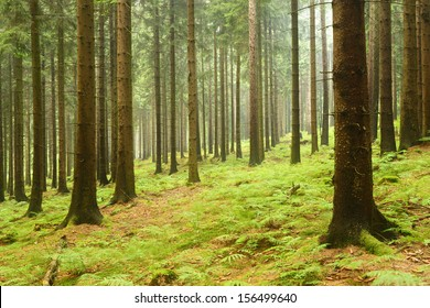 Damp Spruce Tree Forest After Summer Rain