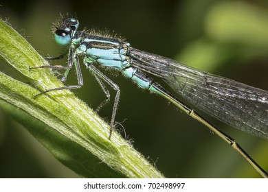 A damsel fly on a blade of grass