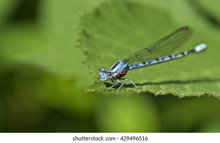 Damsel Fly with Water Mites