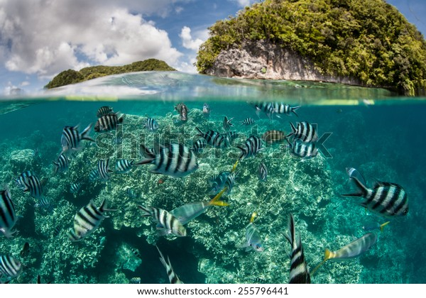 Damselfish swim in shallow water in Palau's inner lagoon. Palau is known for its beautiful rock islands, prolific marine life, and world class scuba diving and snorkeling.