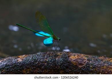 Damselflies  in real nature in Thailand