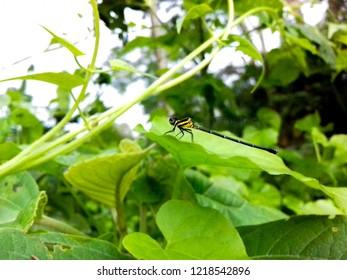 A Damselflies sitting on green leaf
