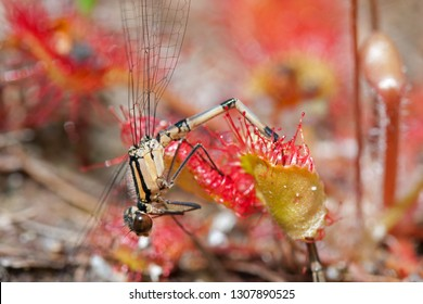 Damselfly caught by Round-leaved sundew, a carnivorous plant