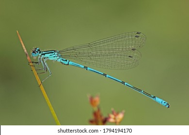 Damselfly (Coenagrion) attached to a stalk