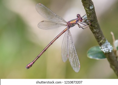 Damselfly the Lestidae