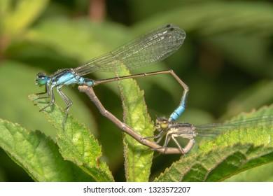 Damselfly mating in early morning. Damselfly mating on leaf/plants