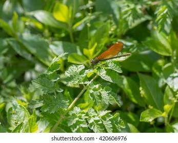 Damselfly sunning itself on a leafy green background.