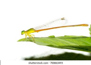 Damselfly,Dragonfly with colorful and beautiful, Scientific Name: Zygoptera,macro insect