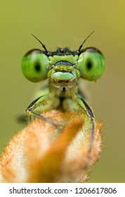 Damselfly's Smiling portrait. Damselfly macro in early morning in nature sitting on a flower bud.