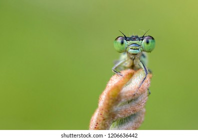 Damselfly's Smiling portrait. In early morning at garden damselfly bug insect sitting on a flower bud and its a closeup macro of it with its compound eyes details.