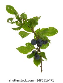 Damson plum, Prunus insititia twig with ripe berries isolated on white background