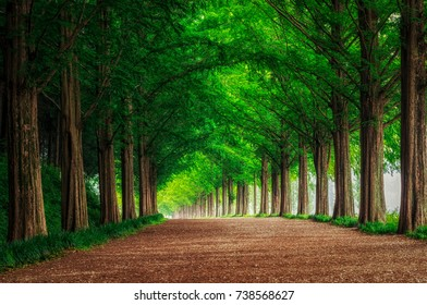 Damyang Metasequoia Road in South Korea. Taken in summer.
