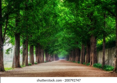 Damyang Metasequoia road. Taken in Damyang South Korea