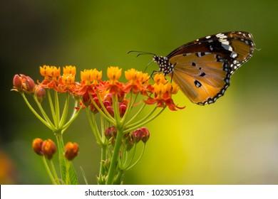 Danaid Eggfly on Asclepias curassavica flower