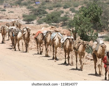 In the Danakil desert of Ethiopia a caravan of camels hauls supplies into the wilderness