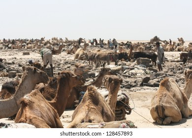 In the Danakil desert of Ethiopia, dromedary camels rest in the sun before joining caravans to haul salt
