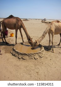 In the danakil desert of Ethiopia a pair of camels drink from a muddy well