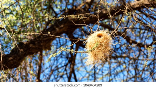 in  danakil ethiopia africa  in the  forest and the tree a empty nest bird in a branch and sky