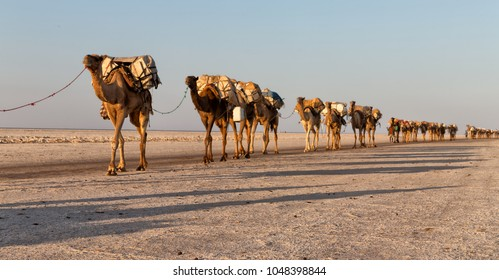 in  danakil ethiopia africa  in the  salt lake the camels carovan and landscape